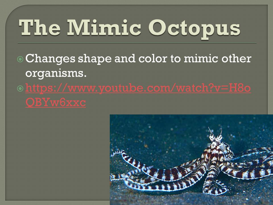 The Mimic Octopus Changes shape and color to mimic other organisms.