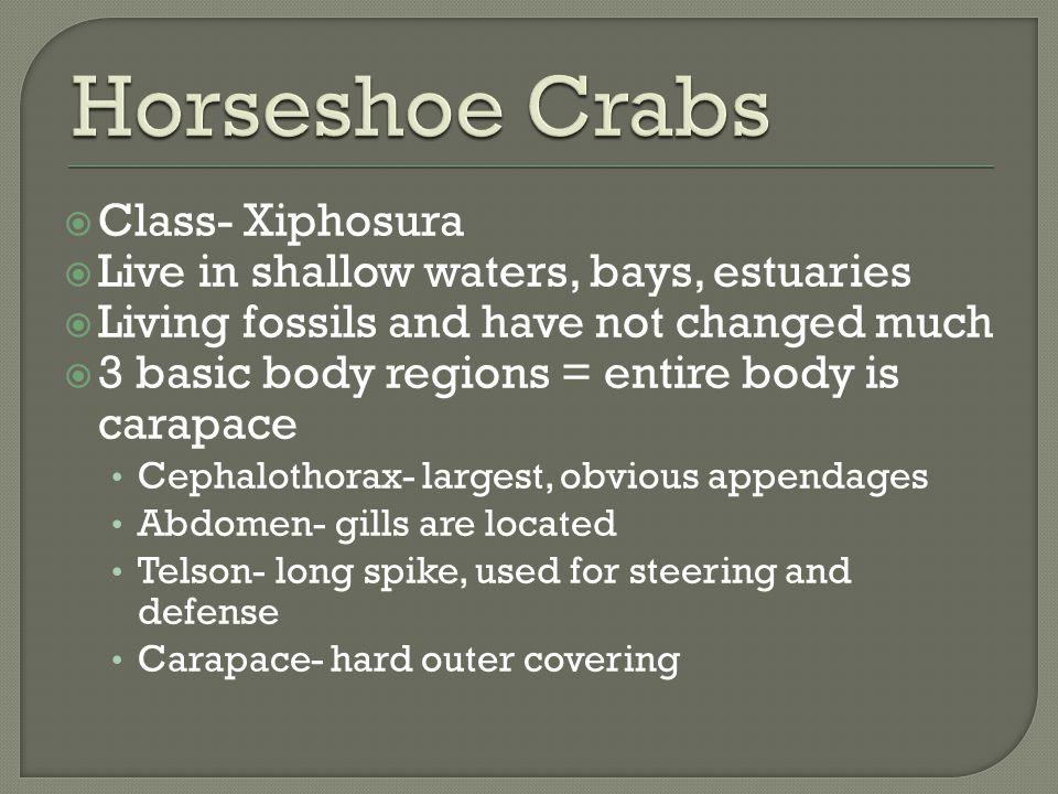 Horseshoe Crabs Class- Xiphosura