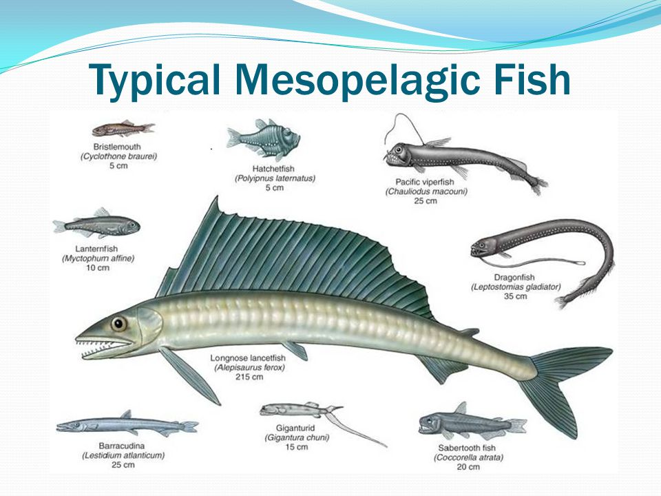 Typical Mesopelagic Fish