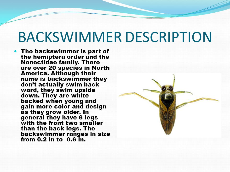 BACKSWIMMER DESCRIPTION