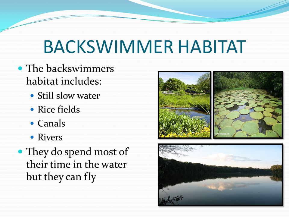 BACKSWIMMER HABITAT The backswimmers habitat includes: