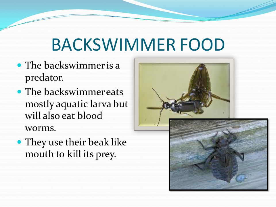 BACKSWIMMER FOOD The backswimmer is a predator.