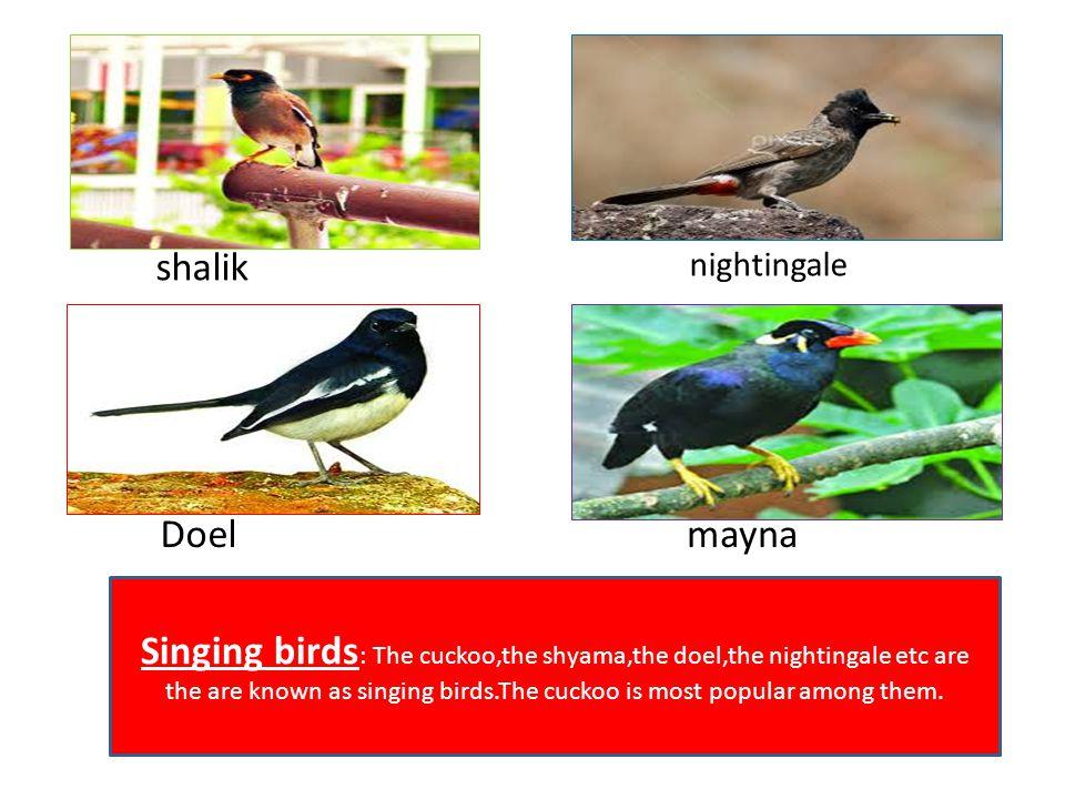 shalik nightingale. Doel. mayna.
