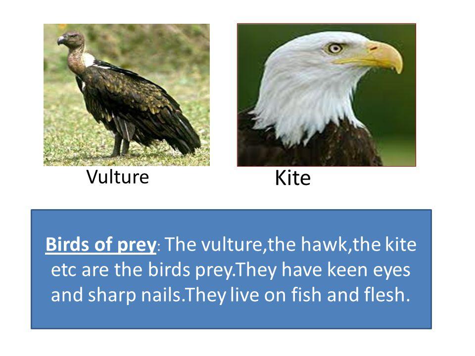 Vulture Kite.