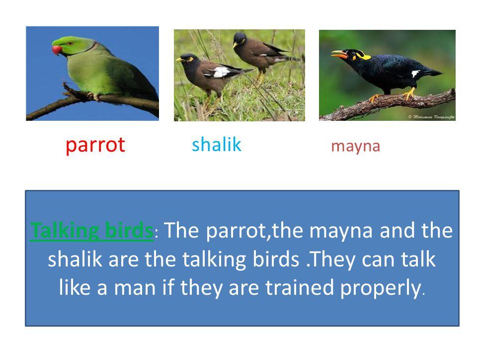 parrot shalik. mayna.