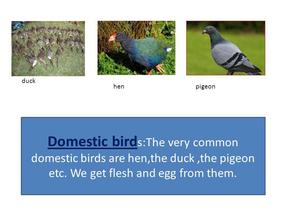 duck hen. pigeon.