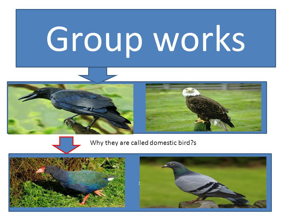 Group works Why they are called domestic bird s s