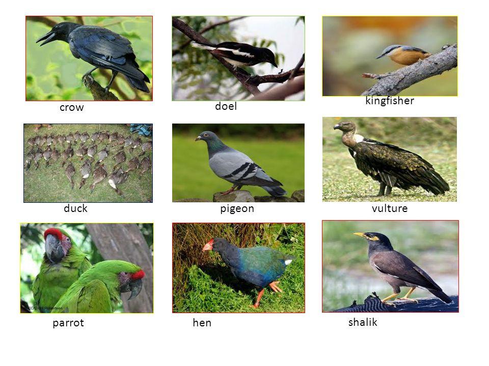 kingfisher crow doel duck pigeon vulture s parrot hen shalik