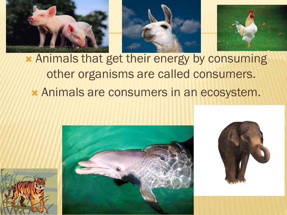 Animals are consumers in an ecosystem.