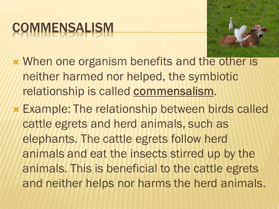 Commensalism When one organism benefits and the other is neither harmed nor helped, the symbiotic relationship is called commensalism.