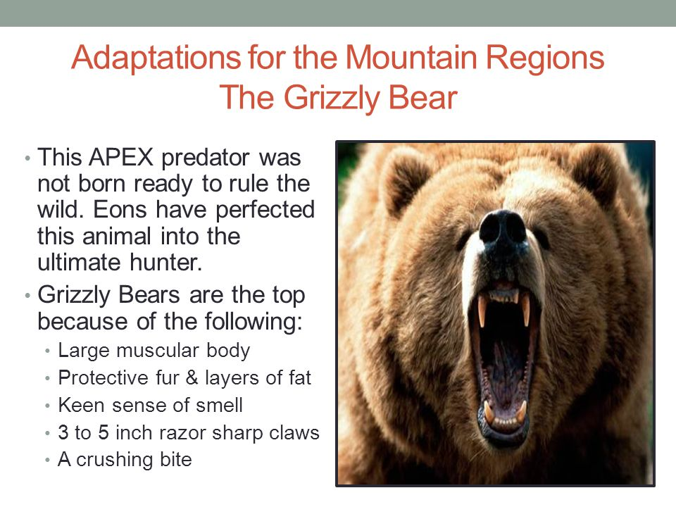 Adaptations for the Mountain Regions The Grizzly Bear
