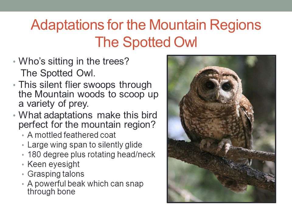 Adaptations for the Mountain Regions The Spotted Owl