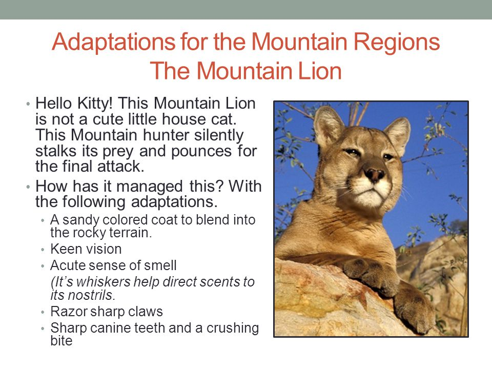 Adaptations for the Mountain Regions The Mountain Lion