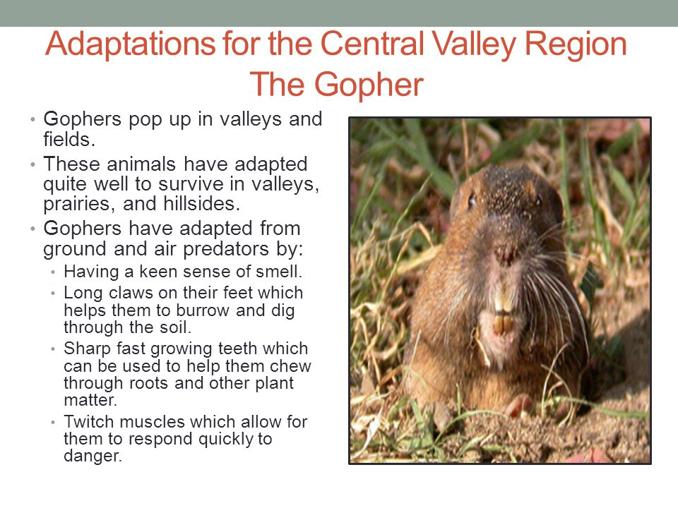 Adaptations for the Central Valley Region The Gopher