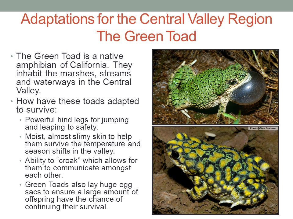 Adaptations for the Central Valley Region The Green Toad