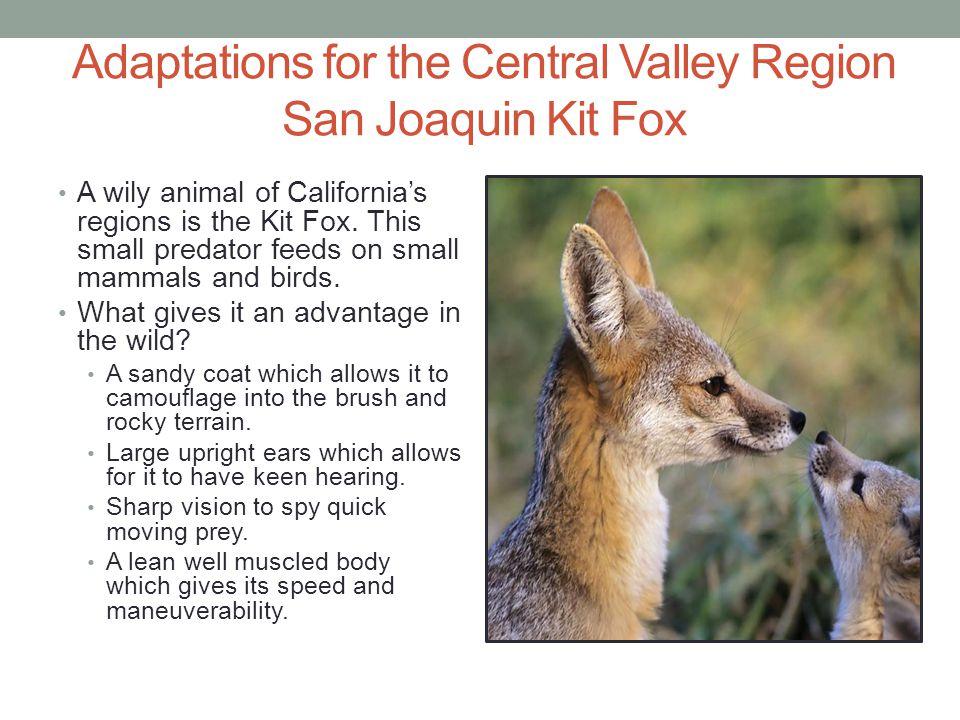 Adaptations for the Central Valley Region San Joaquin Kit Fox