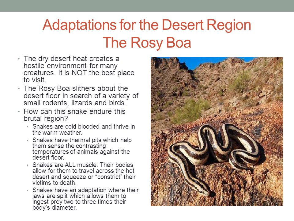 Adaptations for the Desert Region The Rosy Boa
