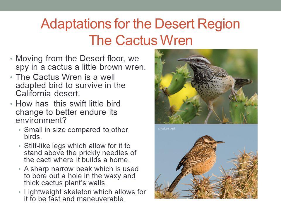 Adaptations for the Desert Region The Cactus Wren