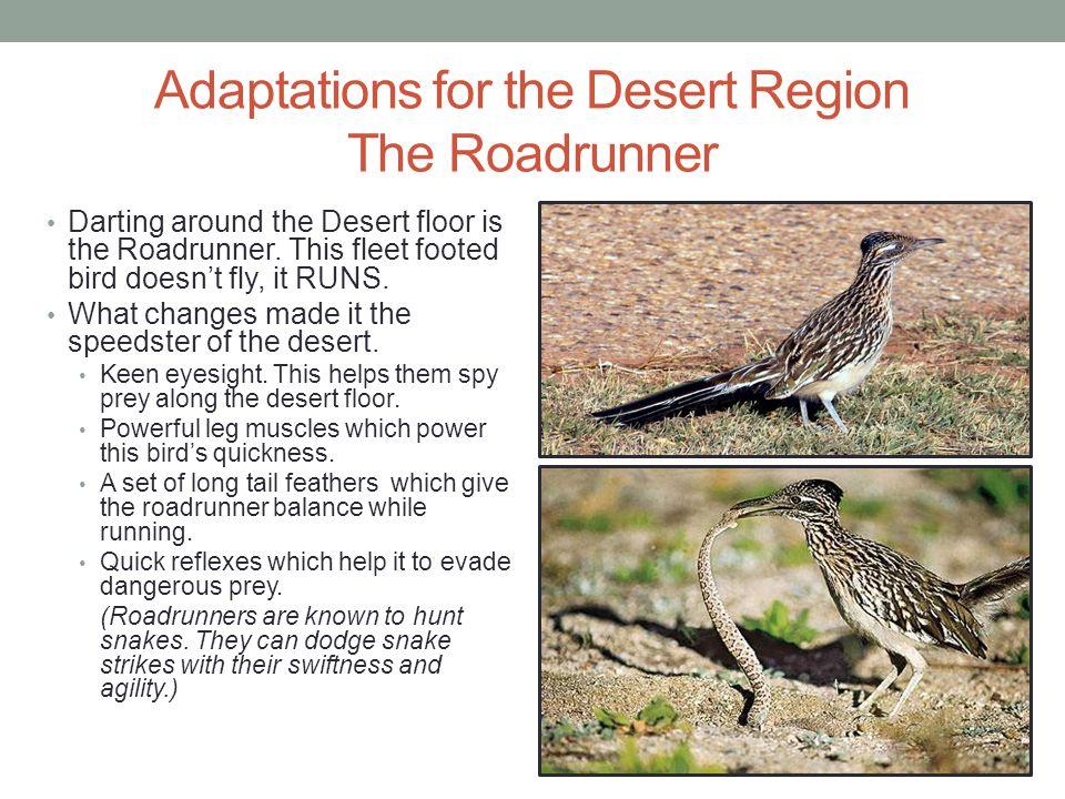 Adaptations for the Desert Region The Roadrunner