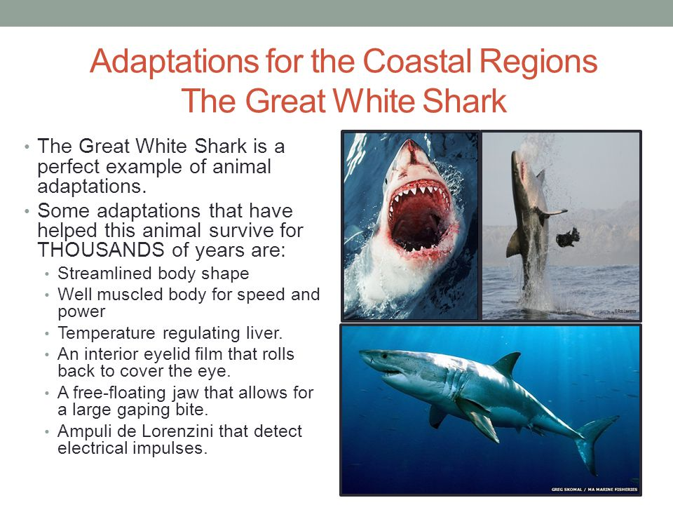 Adaptations for the Coastal Regions The Great White Shark