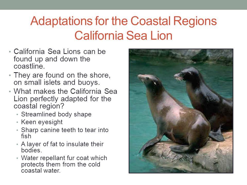 Adaptations for the Coastal Regions California Sea Lion