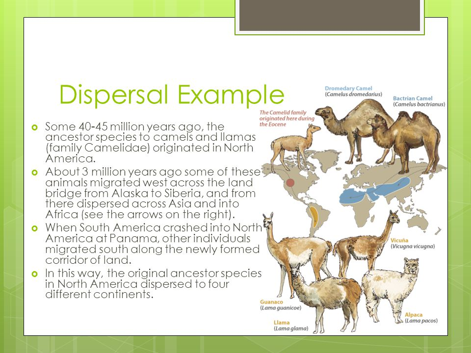 Dispersal Example Some 40-45 million years ago, the ancestor species to camels and llamas (family Camelidae) originated in North America.