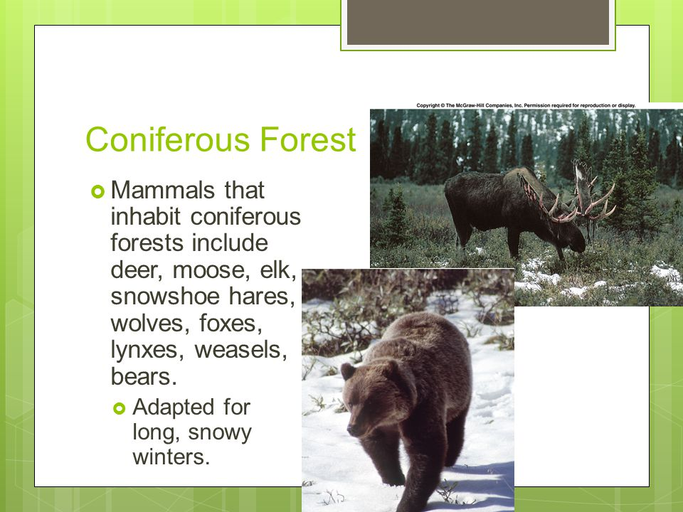 Coniferous Forest Mammals that inhabit coniferous forests include deer, moose, elk, snowshoe hares, wolves, foxes, lynxes, weasels, bears.