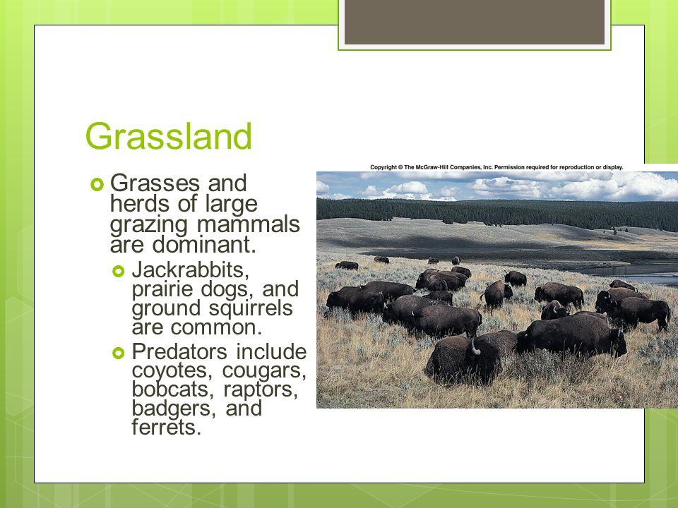 Grassland Grasses and herds of large grazing mammals are dominant.