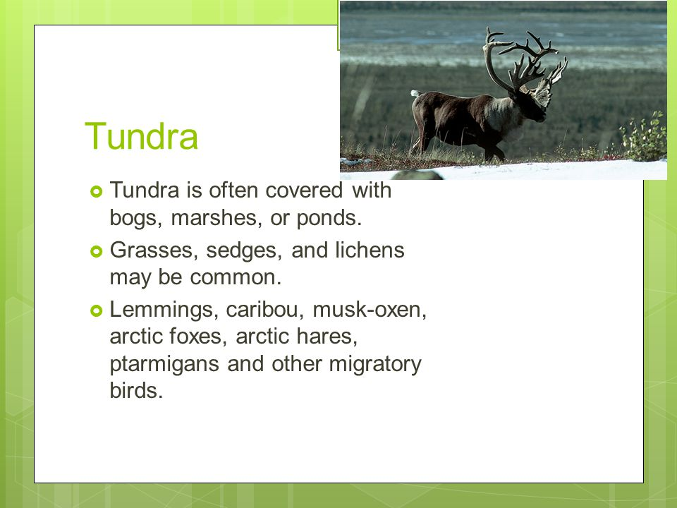 Tundra Tundra is often covered with bogs, marshes, or ponds.