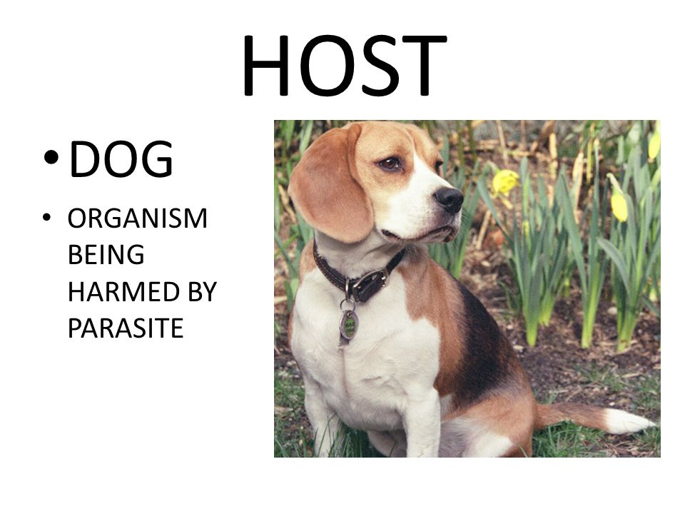 HOST DOG ORGANISM BEING HARMED BY PARASITE