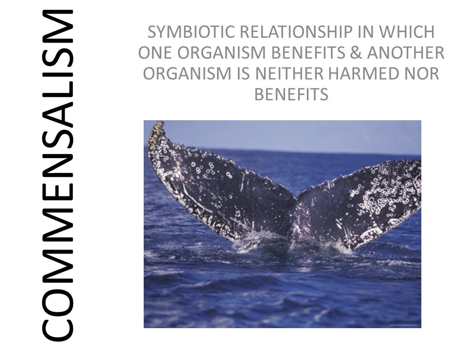 SYMBIOTIC RELATIONSHIP IN WHICH ONE ORGANISM BENEFITS & ANOTHER ORGANISM IS NEITHER HARMED NOR BENEFITS