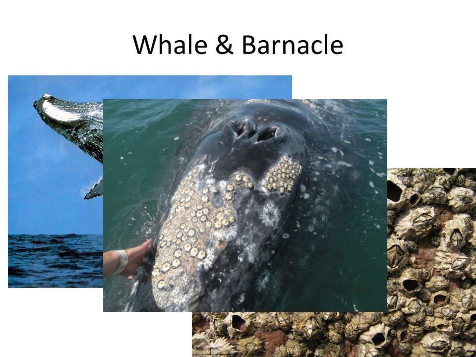 Whale & Barnacle