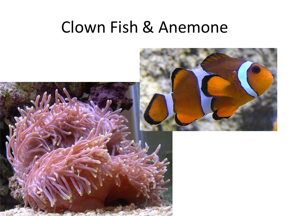 Clown Fish & Anemone