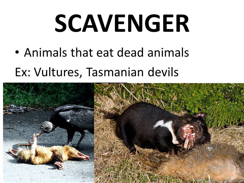 SCAVENGER Animals that eat dead animals Ex: Vultures, Tasmanian devils