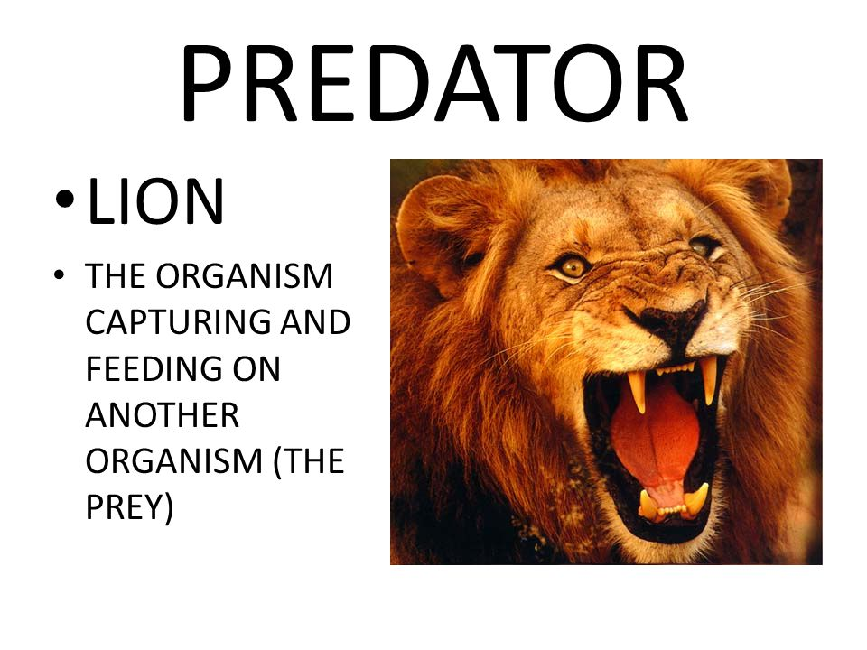 PREDATOR LION THE ORGANISM CAPTURING AND FEEDING ON ANOTHER ORGANISM (THE PREY)