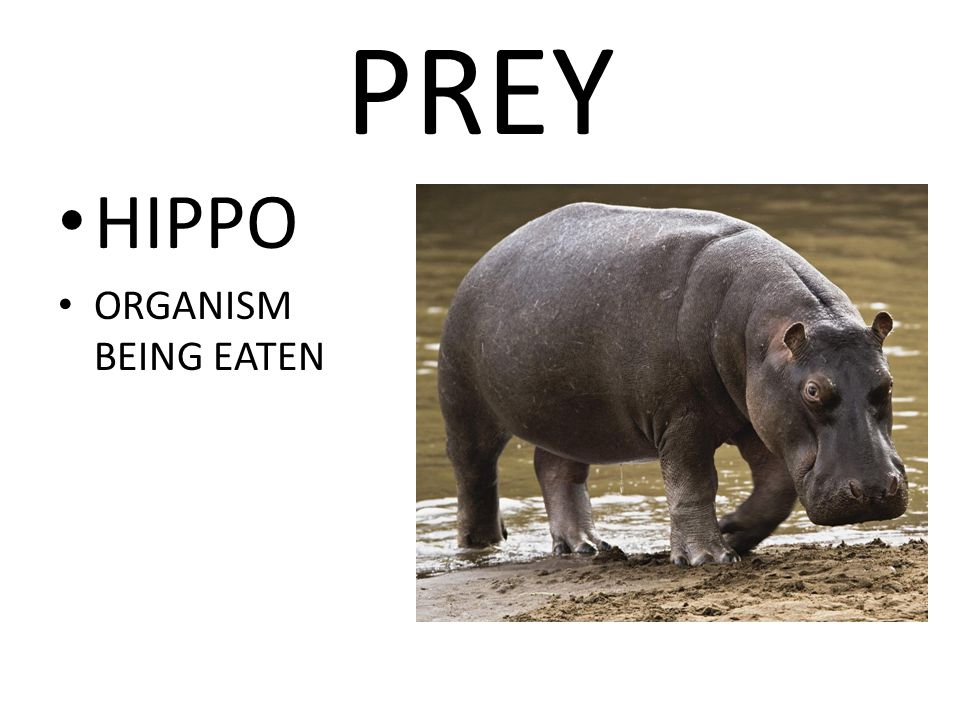 PREY HIPPO ORGANISM BEING EATEN