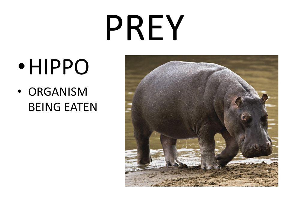 PREY HIPPO ORGANISM BEING EATEN