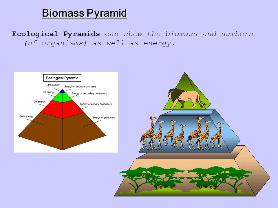 Biomass Pyramid Ecological Pyramids can show the biomass and numbers (of organisms) as well as energy.