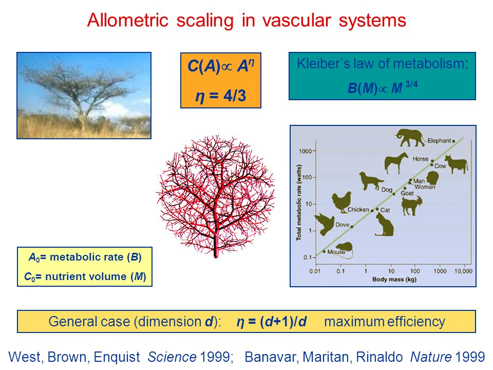 Allometric scaling in vascular systems