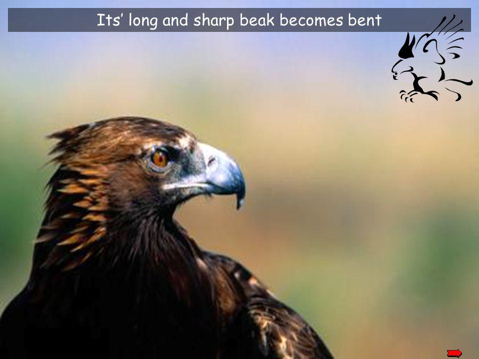 Its' long and sharp beak becomes bent