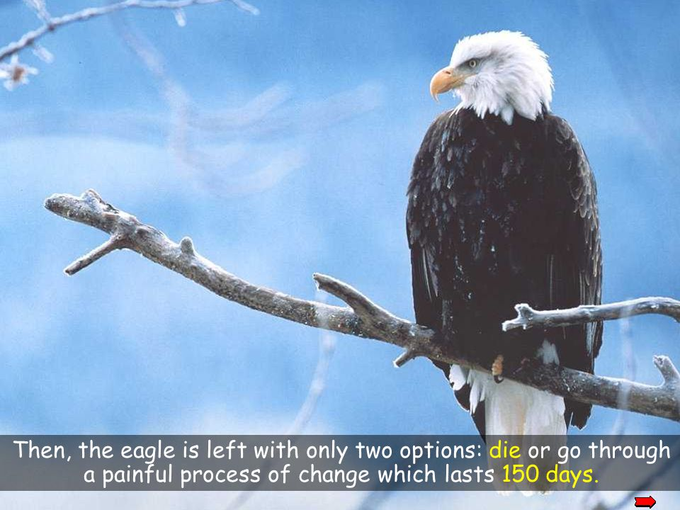 okay Then, the eagle is left with only two options: die or go through a painful process of change which lasts 150 days.