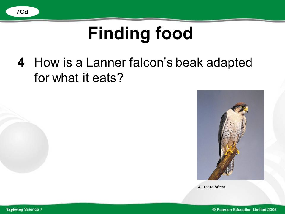Finding food 4 How is a Lanner falcon's beak adapted for what it eats
