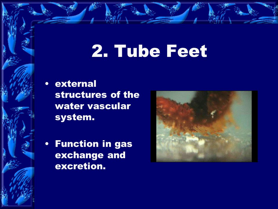 2. Tube Feet external structures of the water vascular system.