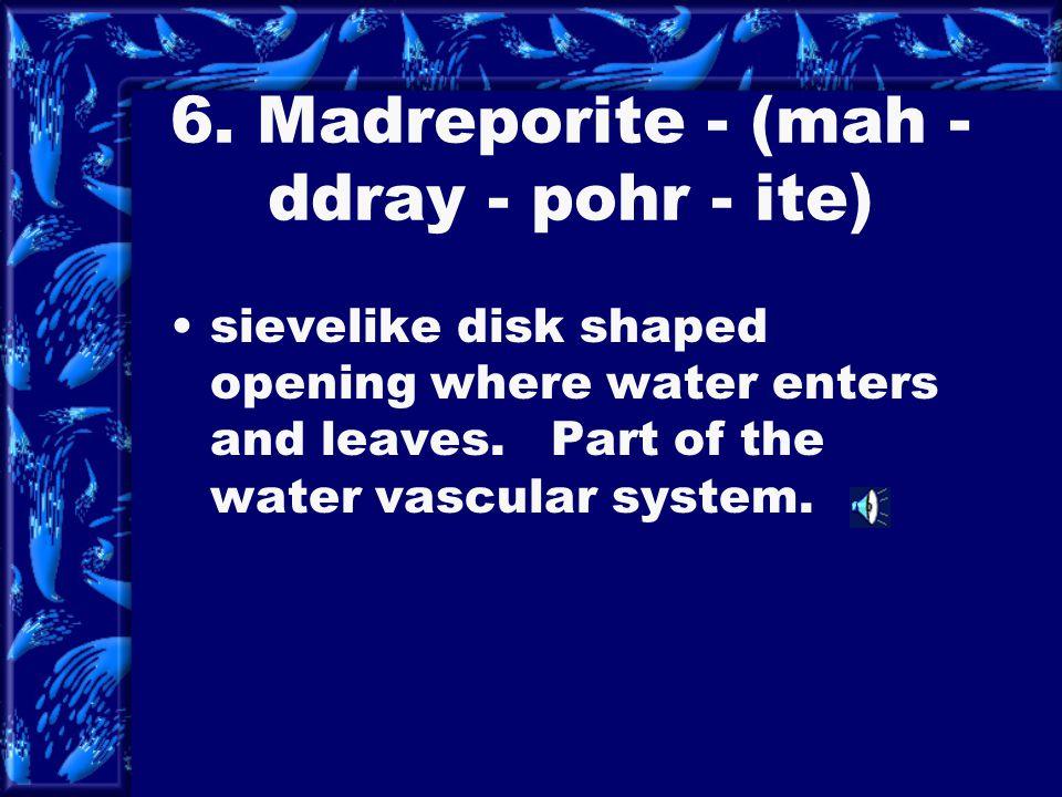 6. Madreporite - (mah - ddray - pohr - ite)