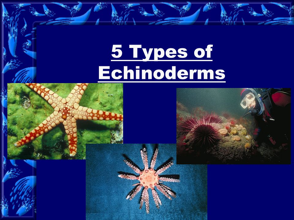 5 Types of Echinoderms