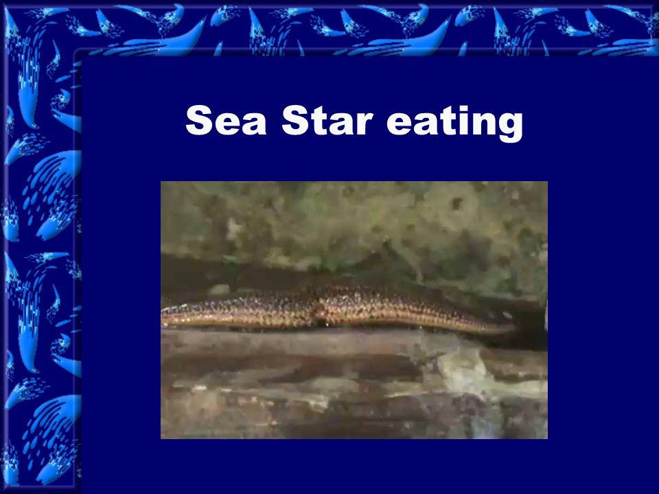 Sea Star eating