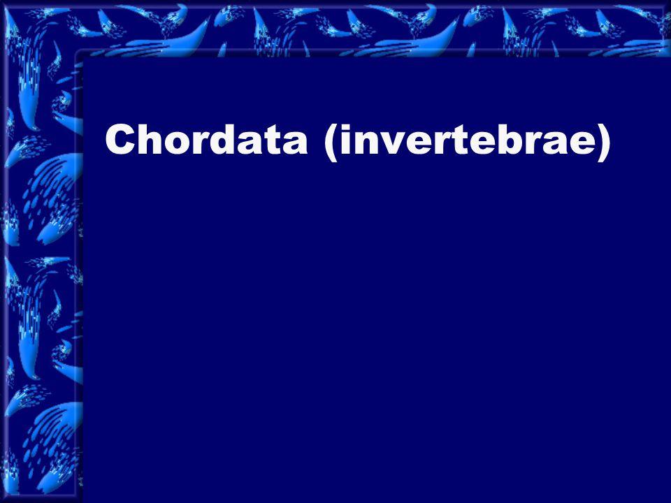Chordata (invertebrae)