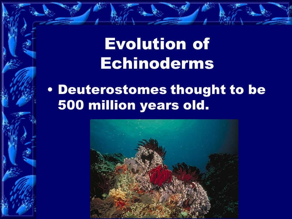 Evolution of Echinoderms