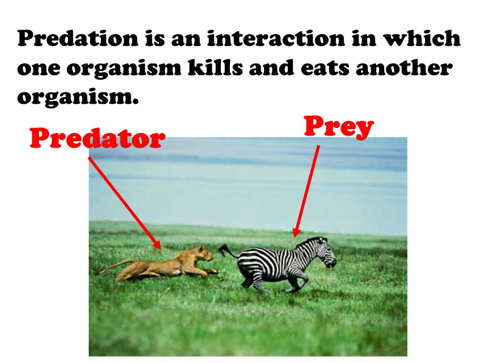 Predation is an interaction in which one organism kills and eats another organism.
