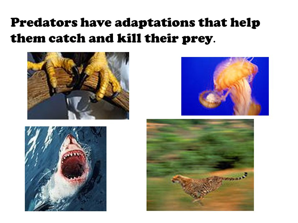 Predators have adaptations that help them catch and kill their prey.